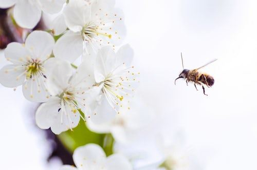 Bee near white blossoms