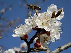 apricot blossom-1197564__180